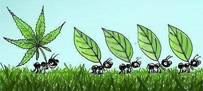 marijuana-ants_400x180px